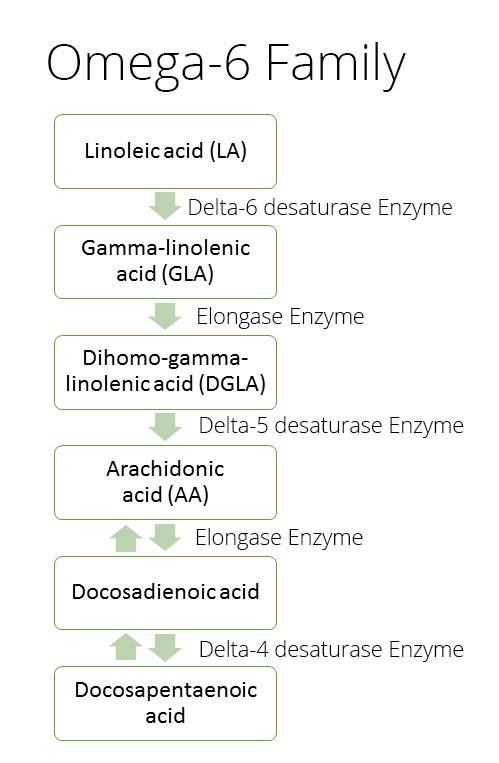 omega-6-cascade